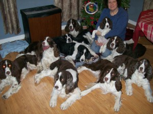 Our Springers Christmas 2012